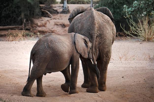 ケニアの自然保護区で母と息子のアフリカ象