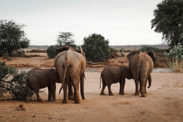 アフリカゾウの家族。ケニア。