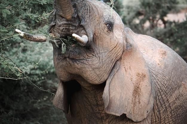 ケニアの自然保護区で食べるアフリカ象