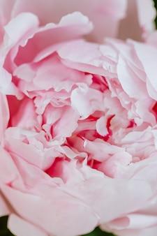 大きなピンクの開花牡丹の芽のクローズアップ