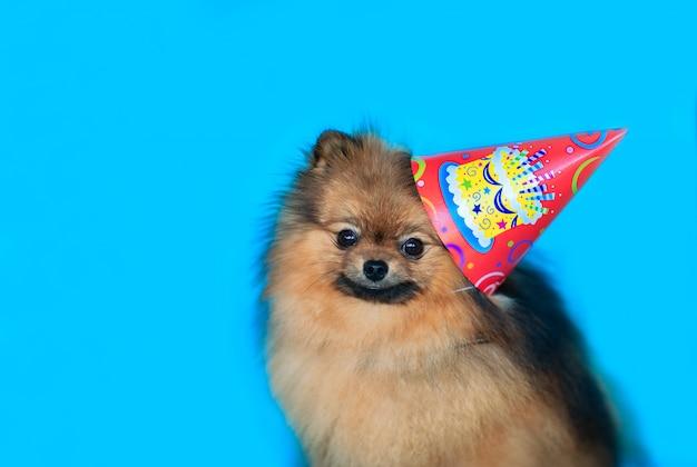 青色の背景に誕生日キャップの若い赤いスピッツ犬の肖像画。コピースペース。