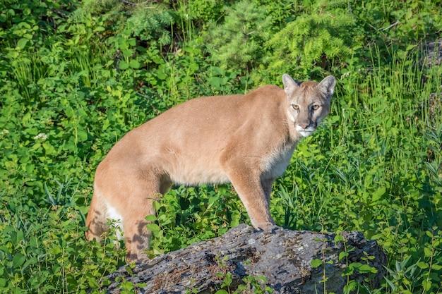 Горный лев, стоящий на скале с ярко-зеленым фоном