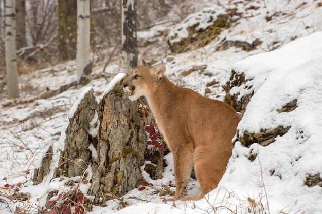 Горный лев сидит между большими скалами в снегу зимой