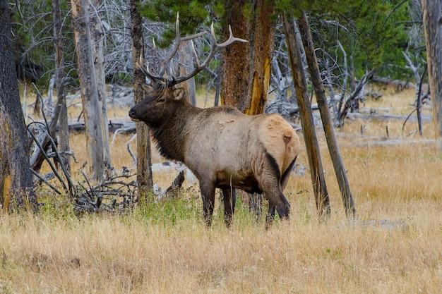 アメリカ合衆国、ワイオミング州イエローストーン国立公園の雄牛エルク(ワピチ)