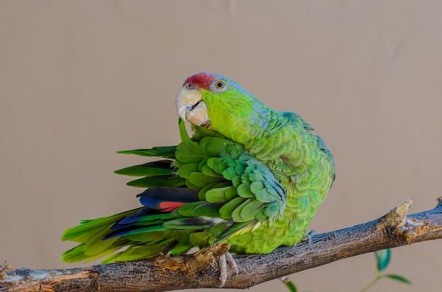 ライラックの冠をかぶったアマゾンオウムが羽を毛づくろいする