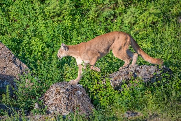 マウンテンライオンは、明るい緑の長い草の上の飛び石としてボルダーを使用しています