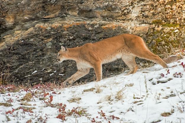 Горный лев, идущий перед скалой в снегу зимой