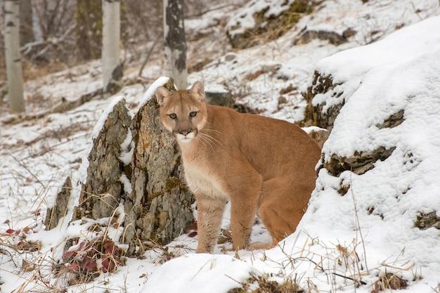 Горный лев, выходящий из скал зимой в снегу