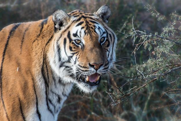 Портрет тигра с открытым ртом