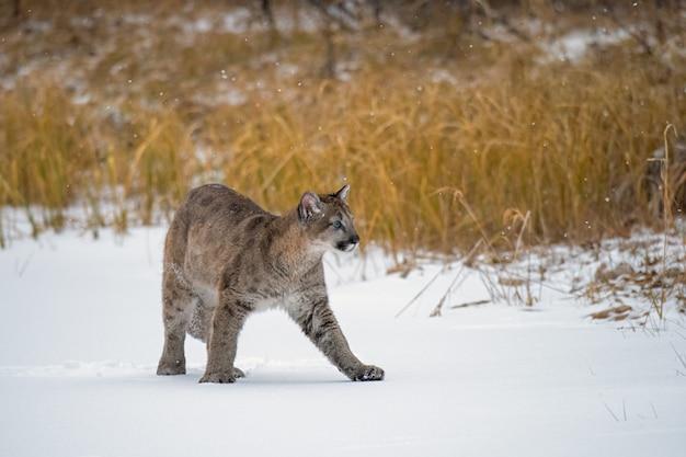Горный львенок гуляет по замерзшему пруду