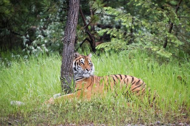 Тигр обнимает дерево в высокой траве