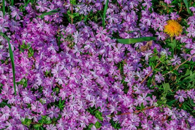 牧草地で育つ美しい紫色のフロックスの花。春の自然の背景。