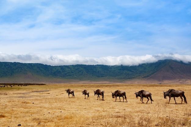 Антилопа гну на кратере заповедника нгоронгоро
