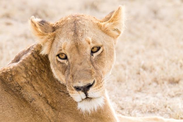 雌ライオンをクローズアップ。セレンゲティ国立公園、タンザニア、アフリカ