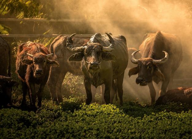タイのバッファロー。過去に働く動物。水牛の優雅さ。バッファローは自然に生きる