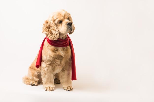 赤いスカーフのアメリカンコッカースパニエル