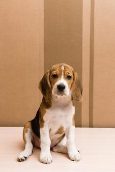 Бигл собака позирует перед стеной