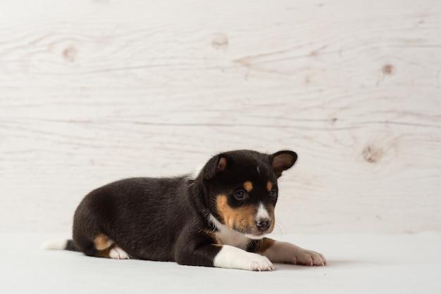 バセンジートリコロールの子犬を置く