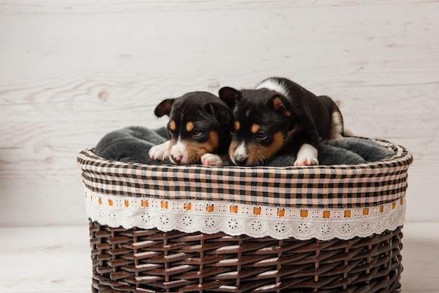 Два трехцветных щенка басенджи в корзине