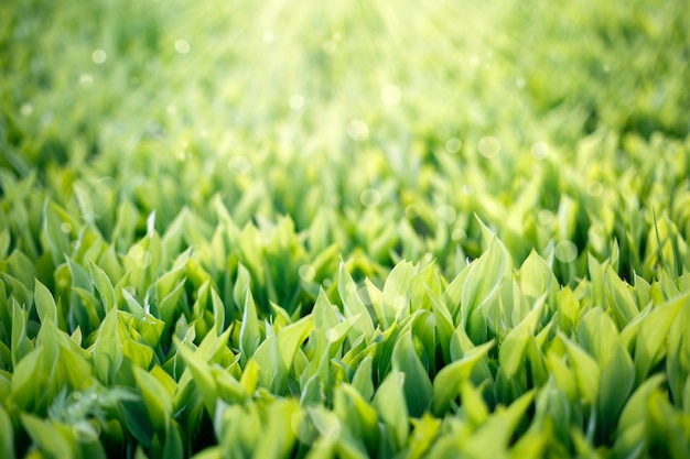 Зеленая трава фон. ландыши с солнечными бликами.