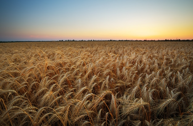 小麦畑。黄金の小麦の穂をクローズアップ。美しい自然の日没の風景。輝く太陽の光の下での田園風景。牧草地の麦畑の耳を登熟の背景。豊富な収穫コンセプト