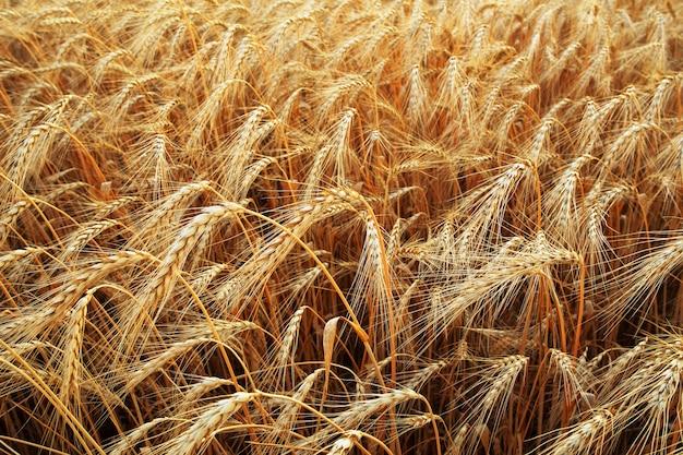 黄金の耳のクローズアップの熟成と麦畑の背景