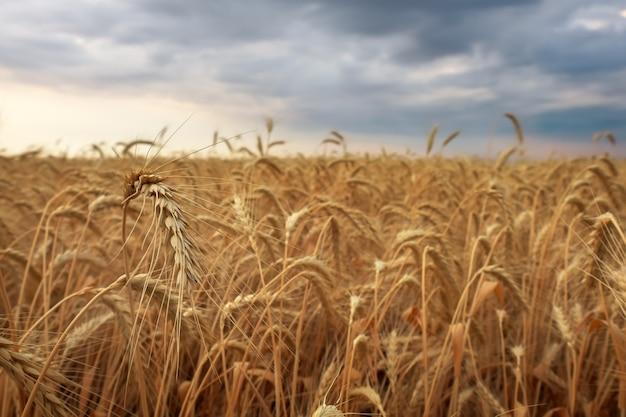 小麦畑。黄金の小麦の穂をクローズアップ。美しい自然の日没の風景。田園風景。牧草地の麦畑の耳を登熟の背景。豊富な収穫コンセプト