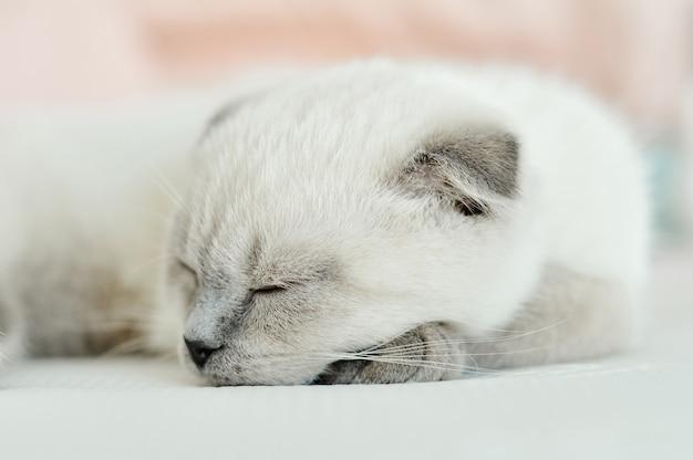 Белая шотландская вислоухая домашняя кошка спит в постели. портрет красивый белый котенок.