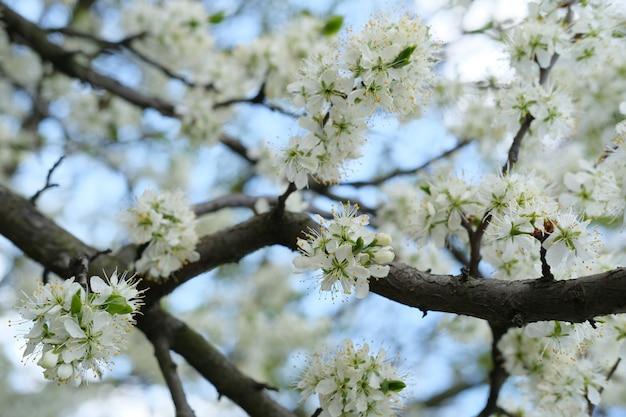 Ароматные цветущие цветы яблони