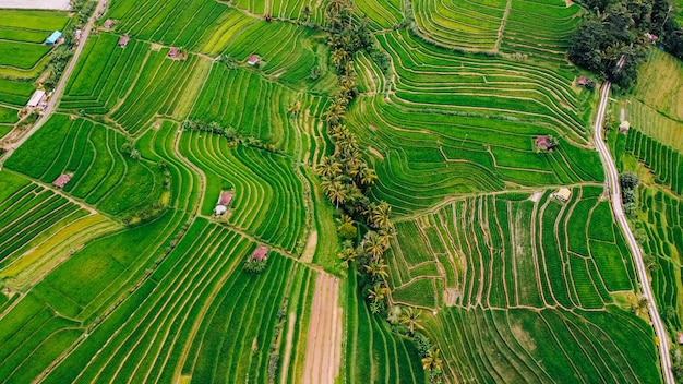 Изумительный взгляд полей риса острова бали, индонезии.