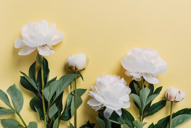 黄色の背景に白のエレガントな牡丹