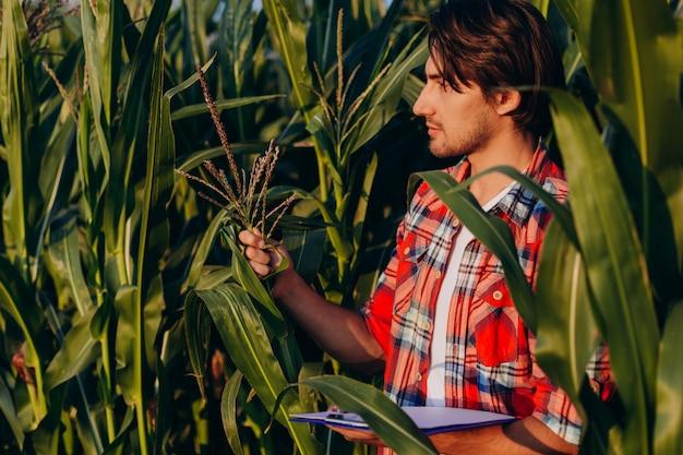 トウモロコシ畑の農学者が収量を管理し、植物を見ます。