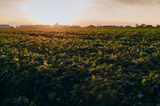 Пейзаж с полем зеленых растений в закат.