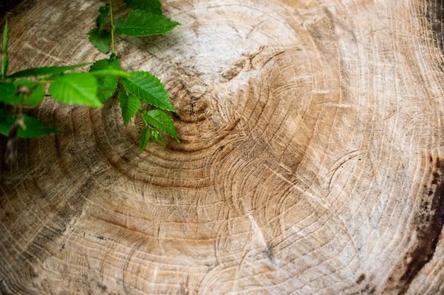 ウッドテクスチャ。大きな木から飲みました。古い木の切り株のテクスチャ