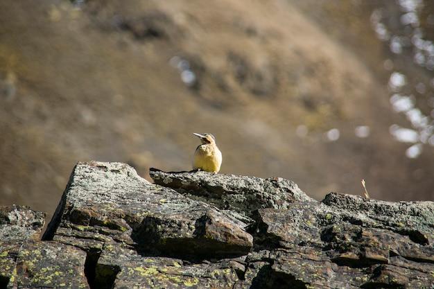 岩の上に座っている山の鳥