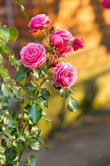Букет красивых розовых роз в саду