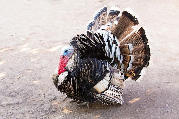 彼の物を気取って怒っている感謝祭の七面鳥