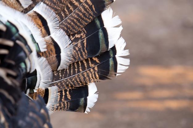 羽毛。美しい感謝祭の七面鳥の部分