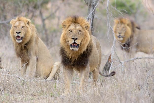 荒野の雄ライオン