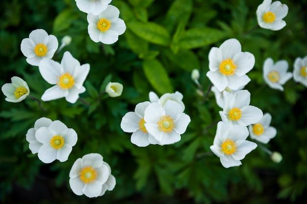 白い夏の花の背景。小さな花びらを持つ素晴らしい美しい花壇。造園に優れた植物