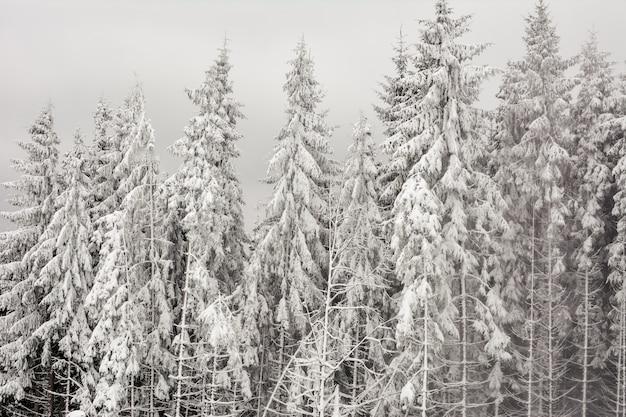山の高い雪に覆われたモミの木がある冬の森