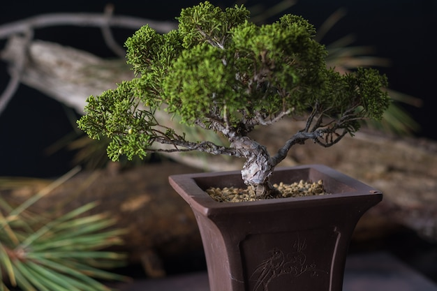 盆栽ジュニペラス・シネンシス