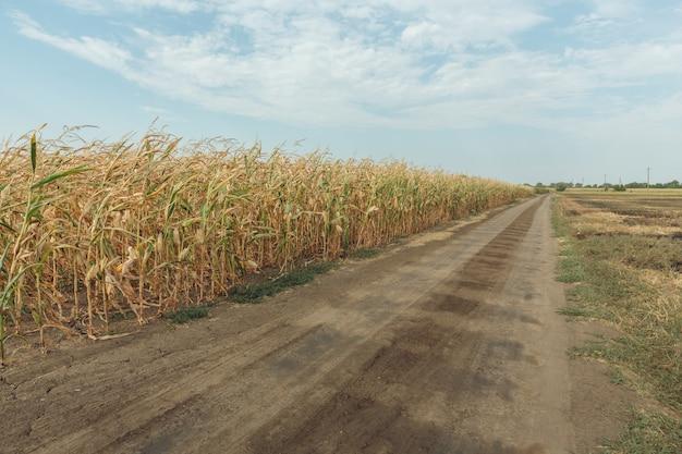 Сельскохозяйственное поле с кукурузой
