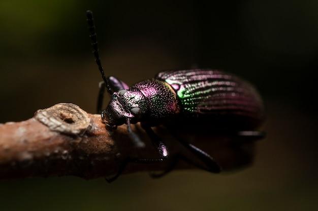Темно-металлический жук на ветке дерева, рассеянный естественный фон.
