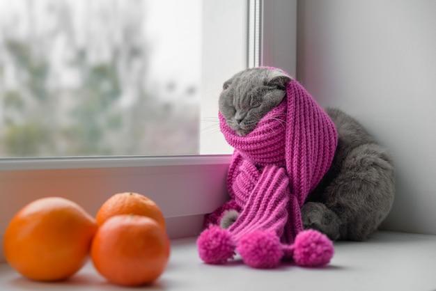 Кошка шотландской британской породы, завернутая в теплый шарф, смотрит в окно на снег