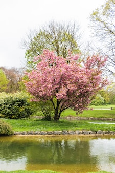 庭の水による桜