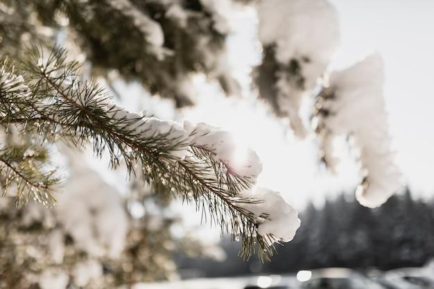 Еловая ветка со снегом