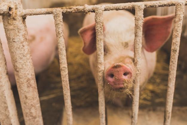 Симпатичная свинья, сидящая в клетке