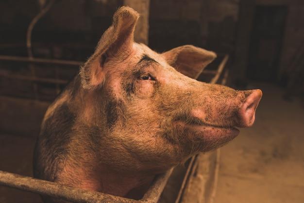 Симпатичная крупная свинья на ферме