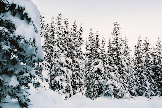 雪の多い松林
